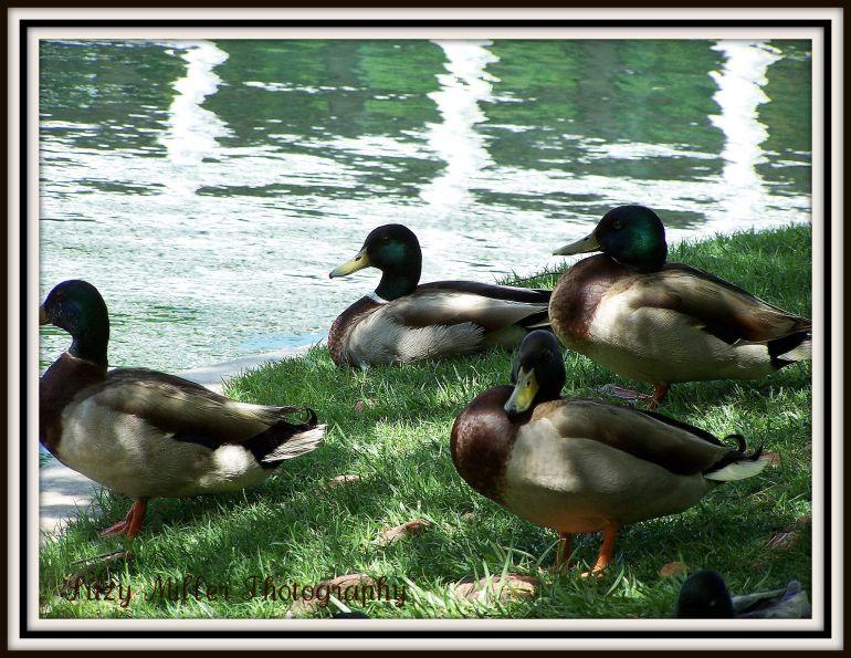ducks-by-water.jpg