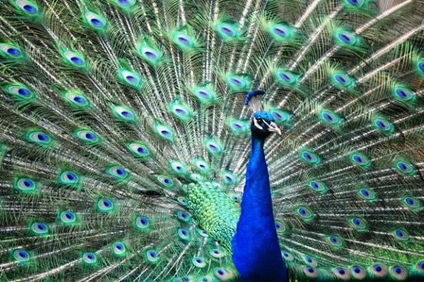 Now that's a great pose! Thank you Mr. Peacock.