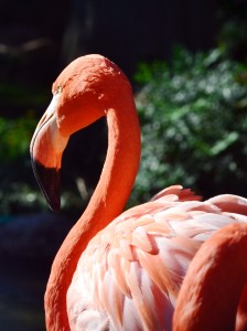 """Flamingo by: Eddie Miller of """"Snaps Photography"""""""