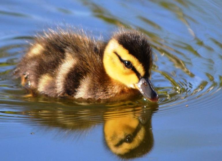 Baby Duck 2