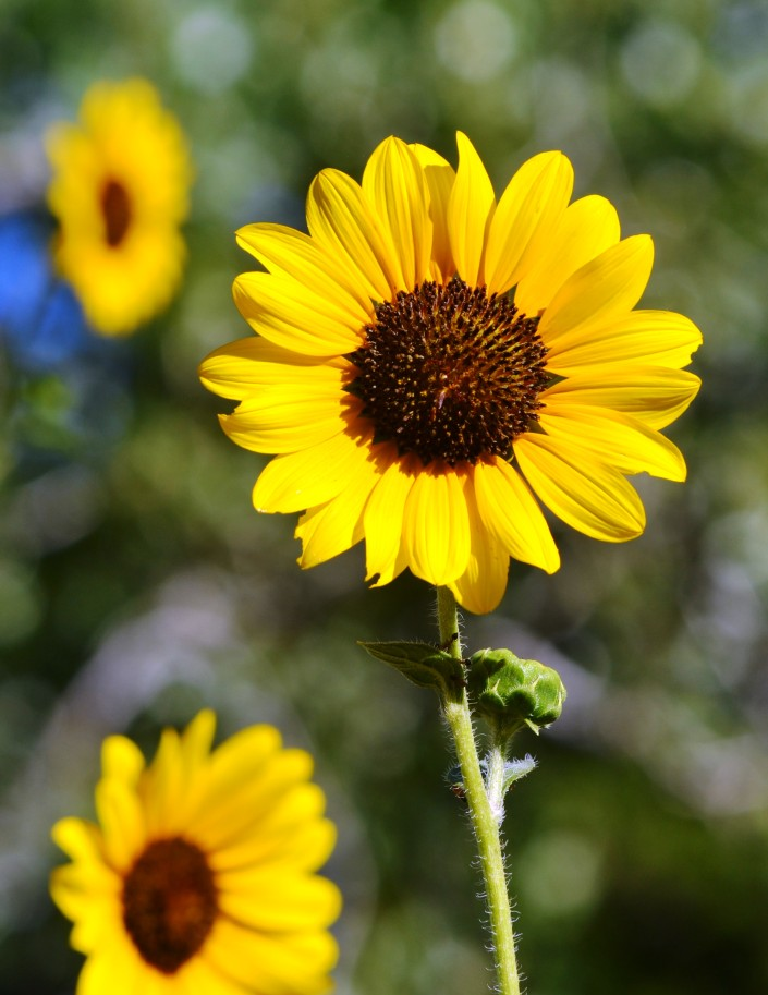 Sunflower 2 [542796]