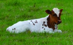 Baby cow resting.